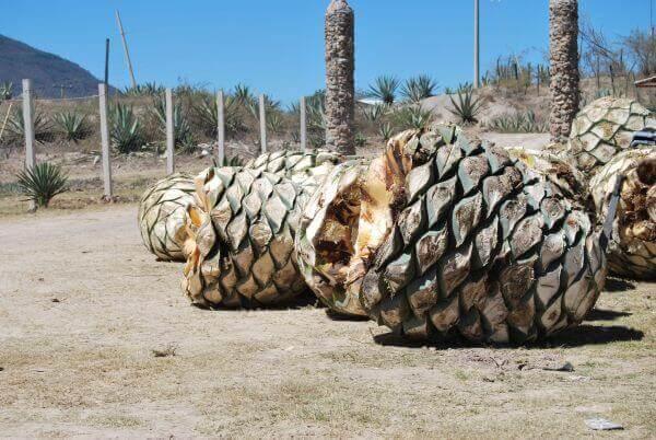 agave hearts in Oaxaca