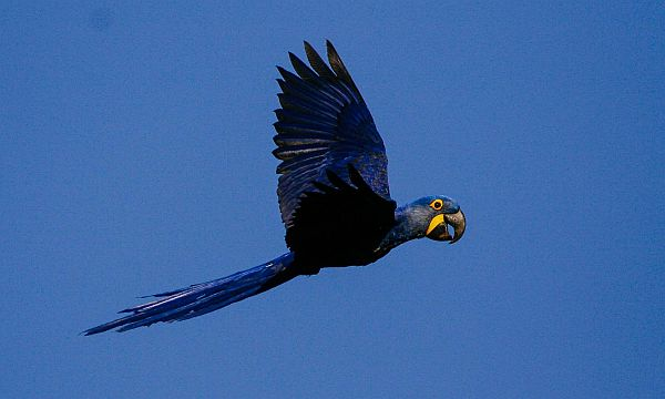 wildlife on an Amazon River cruise - hyacinth macaw