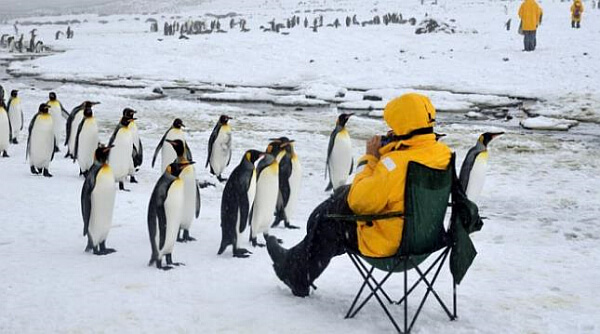 King Penguins with tourist