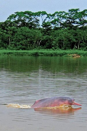 There's a good chance of spotting pink dolphins on Amazon River cruise through the jungles of Peru.