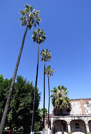 palm trees at Corralejo