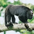 tour of Costa Rica to see howler monkeys