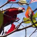 Osa Peninsula macaw