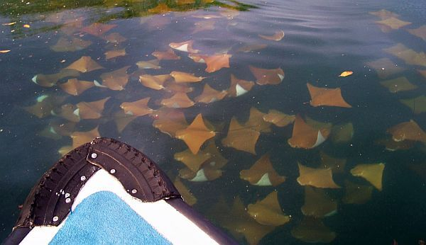 Galapagos Islands cruise seeing rays
