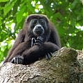 Punta Sal Honduras howler monkey