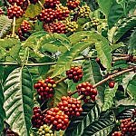 coffee bushes and fruit in Colombia
