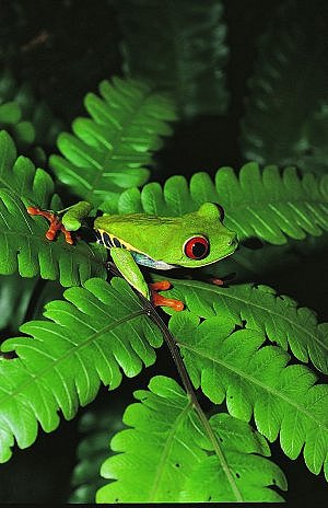 Frog seen on a night jungle tour in Costa Rica with International Expeditions