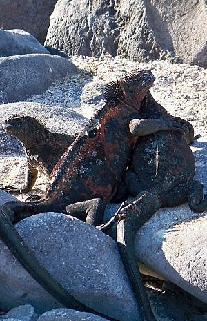 Galapagos Islands cruise passengers learn about the unique wildlife, including marine iguanas
