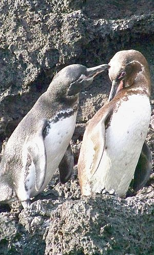 The Galapagos Penguins of Ecuador are the only penguins living north of Equator