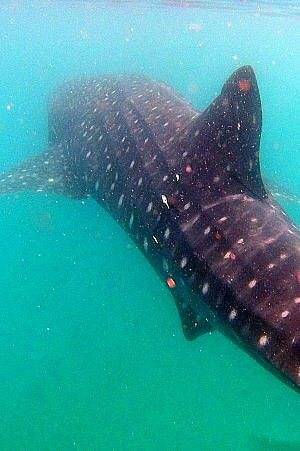 La Paz swimming with whale shark tour goes snorkeling just 15 minutes from shore
