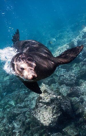 Snorkel with sea lions and fur seals on a small ship cruise in the Galapagos Islands of Ecuador