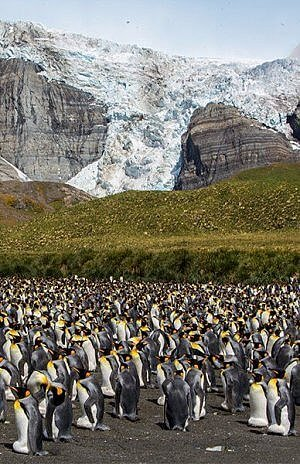 South Georgia Island king penguins Poseidon Adventures