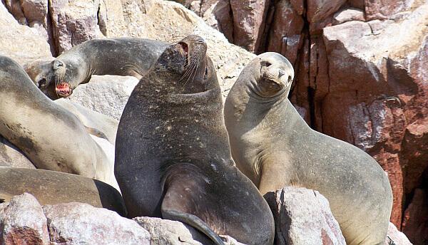 sea lions in Paracas Peru