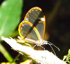 clear wing butterfly Panama