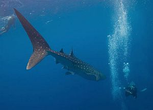 whale shark diving Belize
